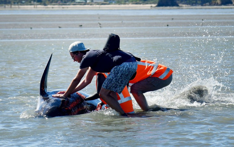 Volunteers hold a Pilot whale upright during a 2nd mass stranding at Farewell Spit on February 11, 2017. More than 400 whales were stranded on a New Zealand beach on February 10, with most of them dying quickly as frustrated volunteers desperately raced to save the survivors. (AFP PHOTO / Marty MELVILLE)