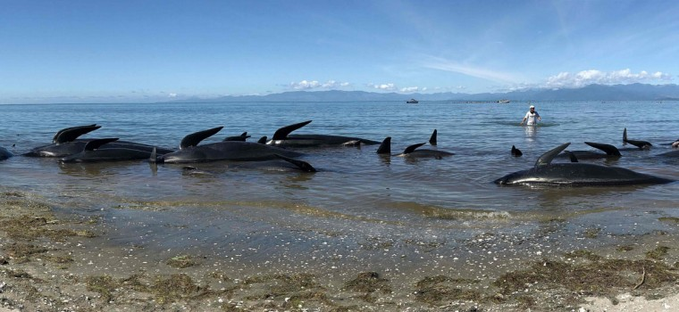 This picture taken on February 11, 2017 shows dead pilot whales lining the shore after a mass stranding at Farewell Spit. Whale rescuers were cautiously optimistic on February 12 that the current wave of mass beachings in New Zealand was over, after hundreds of the creatures died after being stranded ashore. (AFP PHOTO / Marty MELVILLE)