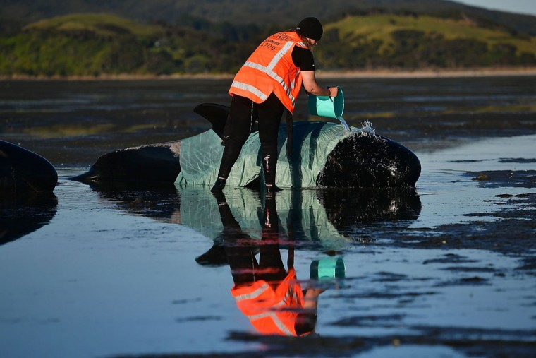 This picture taken on February 11, 2017 shows a volunteer caring for a pilot whale during a mass stranding at Farewell Spit. Most of the more than 200 whales who became stranded on New Zealand's notorious Farewell Spit on the weekend have been able to refloat themselves, conservation officials said on February 12. (AFP PHOTO / Marty MELVILLE)
