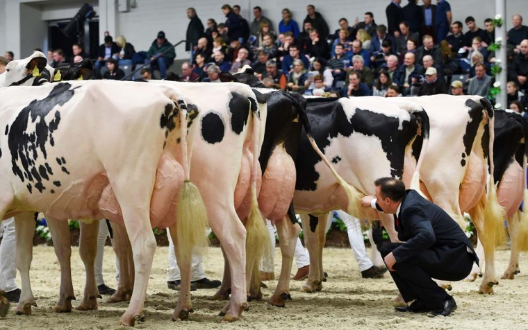 "A judge inspects cows taking part in the 44th edition of the ""Schau der Besten"" (Show of the Best) dairy cow beauty pageant on February 23, 2017 in Verden an der Aller, northwestern Germany. About 200 cows compete in 18 different categories. / (CARMEN JASPERSEN/AFP/Getty Images)"
