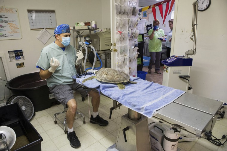In this Jan. 29, 2017 photo, Dr. Tim Tristan sits in his surgical room at Texas Sealife Centeras. Dr. Tristan waits for a green sea turtle's anesthesia to take affect before removing the turtles Fibropapillomatosis (FP) tumors in Corpus Christi, Texas. After months of mild weather, temperatures dropped fast and hard on the weekend of Jan. 7, cold-stunning hundreds of sea turtles in Texas waters. But as scientists treated the animals, they discovered another problem -- tumors. Scientists found that half of the turtles were afflicted with fibropapillomatosis, or FP, a herpes virus specific to sea turtles. (Courtney Sacco/Corpus Christi Caller-Times via AP)