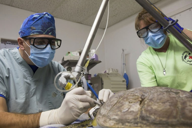 In this Sunday, Jan. 29, 2017 photo, Dr. Tim Tristan uses co2 surgical laser to remove Fibropapillomatosis (FP) tumors from a green sea turtle as Amanda Terry administers anesthesia at the Texas Sealife Center in Corpus Christi, Texas. After months of mild weather, temperatures dropped fast and hard on the weekend of Jan. 7, cold-stunning hundreds of sea turtles in Texas waters. But as scientists treated the animals, they discovered another problem -- tumors. Scientists found that half of the turtles were afflicted with fibropapillomatosis, or FP, a herpes virus specific to sea turtles. (Courtney Sacco/Corpus Christi Caller-Times via AP)