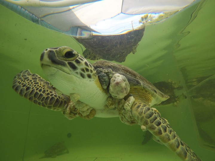 In this Sunday, Jan. 29, 2017, photo, green sea turtles with Fibropapillomatosis swims in the outdoor tank at Texas Sealife Center as a volunteer clean the tank in Corpus Christi, Texas. After months of mild weather, temperatures dropped fast and hard on the weekend of Jan. 7, cold-stunning hundreds of sea turtles in Texas waters. But as scientists treated the animals, they discovered another problem -- tumors. Scientists found that half of the turtles were afflicted with fibropapillomatosis, or FP, a herpes virus specific to sea turtles. (Courtney Sacco/Corpus Christi Caller-Times via AP)
