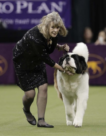 A handler guides a Saint Bernard around the ring during the working group competition at the 141st Westminster Kennel Club Dog Show, Tuesday, Feb. 14, 2017, in New York. (AP Photo/Julie Jacobson)