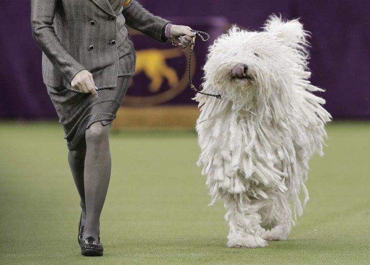 A Komondor struts around the ring during the working group competition at the 141st Westminster Kennel Club Dog Show, Tuesday, Feb. 14, 2017, in New York. (AP Photo/Julie Jacobson)