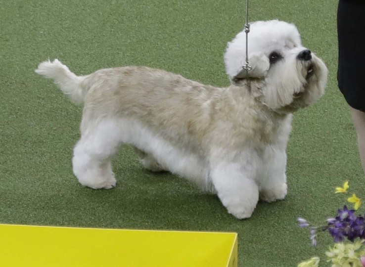 A Dandie Dinmont terrier competes with the terrier group during the 141st Westminster Kennel Club Dog Show on Tuesday, Feb. 14, 2017, in New York. (AP Photo/Frank Franklin II)