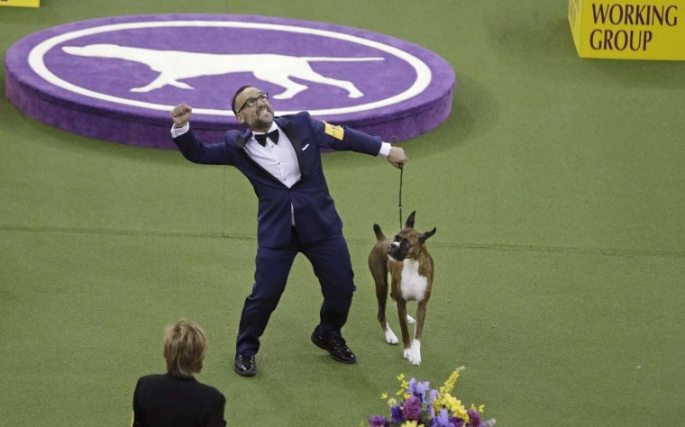 A handler celebrates after Devlin, a boxer, won the working group during the 141st Westminster Kennel Club Dog Show on Tuesday, Feb. 14, 2017, in New York. (AP Photo/Frank Franklin II)