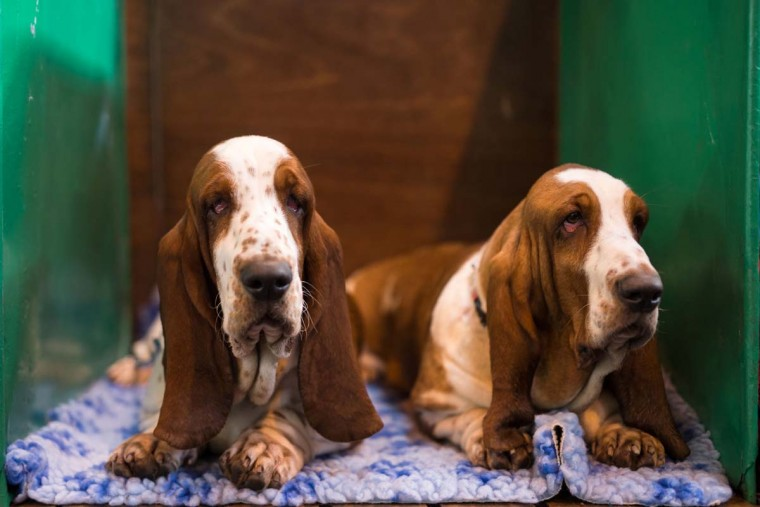 Basset Hounds rest in their pen on the first day of the Crufts dog show at the National Exhibition Centre in Birmingham, central England, on March 9, 2017. (OLI SCARFF/AFP/Getty Images)
