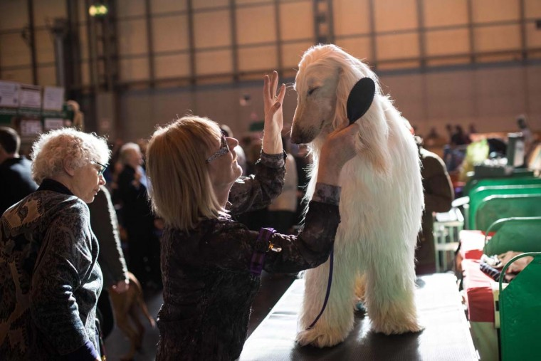A woman grooms an Afghan hound before it is judged on the first day of the Crufts dog show at the National Exhibition Centre in Birmingham, central England, on March 9, 2017. (OLI SCARFF/AFP/Getty Images)