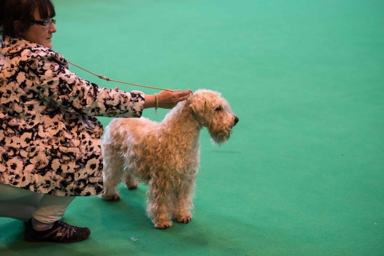 A woman shows her Soft Coated Wheaten Terrier dog on the first day of the Crufts dog show at the National Exhibition Centre in Birmingham, central England, on March 9, 2017. (OLI SCARFF/AFP/Getty Images)