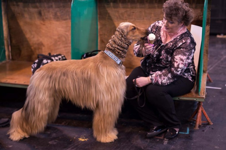 A woman feeds an Afghan hound an ice cream on the first day of the Crufts dog show at the National Exhibition Centre in Birmingham, central England, on March 9, 2017. (OLI SCARFF/AFP/Getty Images)