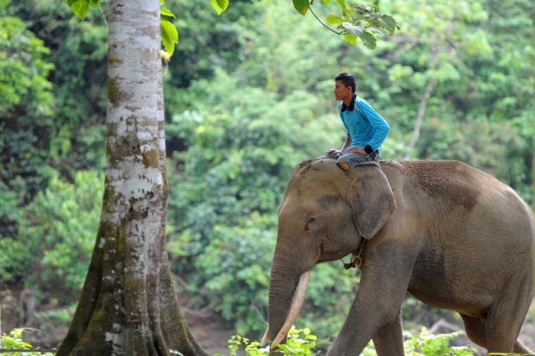 This picture taken on February 25, 2017 shows an Indonesian forest ranger with a captive Sumatran elephant as they set out on a patrol in Ulu Masen forest at Aceh Jaya, Aceh province. (CHAIDEER MAHYUDDIN/AFP/Getty Images)
