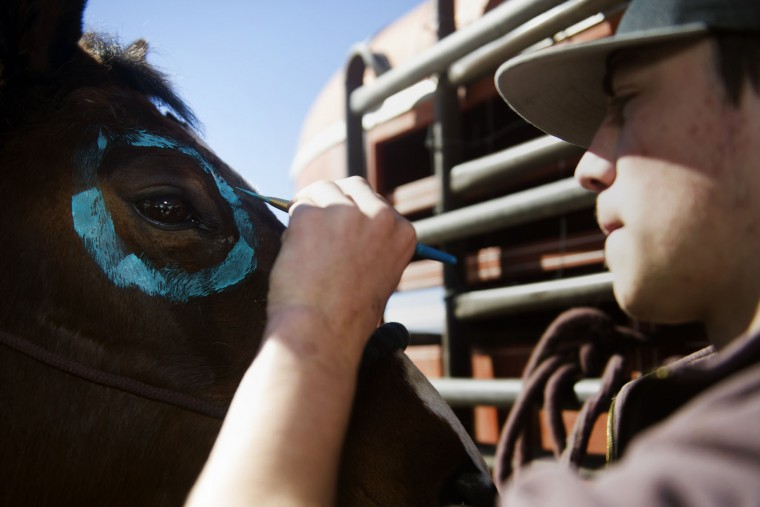 Ryan Rivera of Ordway, Colorado paints a turquoise circle around the eye of his horse Twister prior to the start of the 68th annual Leadville Ski Joring weekend competition on Saturday, March 4, 2017 in Leadville, Colorado. Skijoring, which has its origins as a competitive sport in Scandinavia, has been adapted over the years to include a team made up of a rider and skier who must navigate jumps, slalom gates, and the spearing of rings for points. Leadville, with an elevation of 10,152 feet (3,094 m), the highest incorporated city in North America, has been hosting skijoring competitions since 1949. (Jason Connolly/AFP/Getty Images)