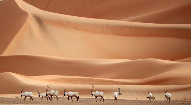 Arabian Oryx are seen at the Arabian Oryx Sanctuary in Um al-Zamool, near the United Arab Emirates' border with Saudi Arabia on March 23, 2017. (KARIM SAHIB/AFP/Getty Images)
