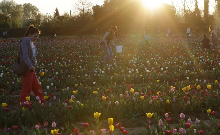 Visitors pick tulip flowers in the first Italian tulip field, planted by a Dutch couple to recreate the tradition in the Netherlands where you can pick your own tulip, in Cornaredo, near Milan, Italy, Wednesday, March 29, 2017. (AP Photo/Antonio Calanni)