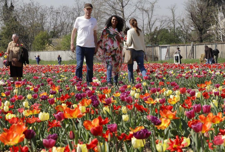 Dutch couple Edwin Koeman and Nitsuje Wolanios walk through the first Italian tulip field they planted to recreate the tradition in the Netherlands where you can pick your own tulip, in Cornaredo, near Milan, Italy, Wednesday, March 29, 2017. (AP Photo/Antonio Calanni)