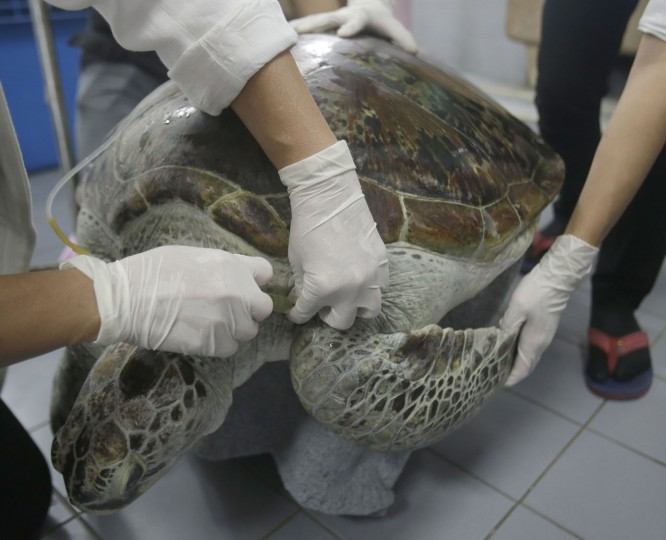 "Head of Chulalongkorn University's veterinary medical aquatic animal research center Nantarika Chansue injects saline solution as part of the rehabilitation treatment for 25-year-old green sea turtle ""Bank"" in Bangkok, Thailand, Friday, March 10, 2017. Veterinarians operate on Bank on Monday to remove 915 coins weighing 5 kilograms (11 pounds) from her stomach, which she swallowed after misguided human passers-by tossed coin into her pool for luck in eastern Thailand. (AP Photo/Sakchai Lalit)"