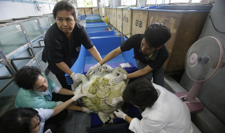 "Head of Chulalongkorn University's veterinary medical Nantarika Chansue, right, clean the surgical scar on the 25 year-old green sea turtle ""Bank"" at Chulalongkorn University in Bangkok, Thailand, Friday, March 10, 2017. Veterinarian operate on Bank on Monday to remove 915 coins weighing 5 kilograms (11 pounds) from her stomach, which she swallowed after misguided human passers-by tossed coin into her pool for luck in eastern Thailand. (AP Photo/Sakchai Lalit)"