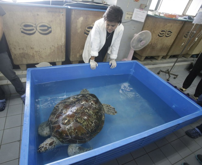 "Head of Chulalongkorn University's veterinary medical aquatic animal research center Nantarika Chansue watch 25-year-old green sea turtle ""Bank"" swim in pond as part of rehabilitation treatment in Bangkok, Thailand, Friday, March 10, 2017. Veterinarian operate on Bank on Monday to remove 915 coins weighing 5 kilograms (11 pounds) from her stomach, which she swallowed after misguided human passers-by tossed coin into her pool for luck in eastern Thailand. (AP Photo/Sakchai Lalit)"