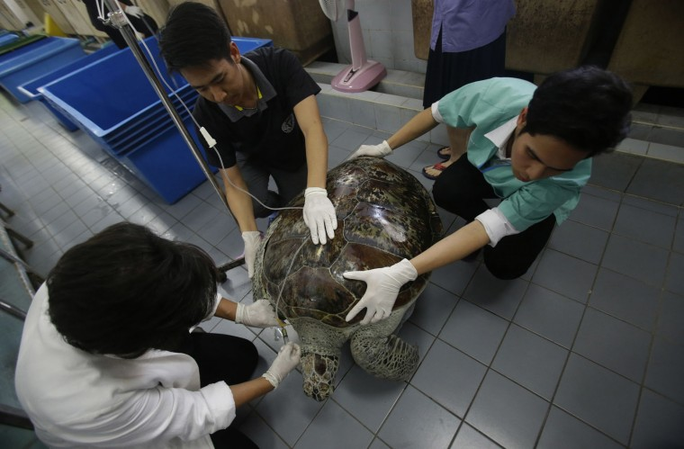 "Head of Chulalongkorn University's veterinary medical aquatic animal research center Nantarika Chansue, left, injects saline solution as part of rehabilitation treatment for 25-year-old green sea turtle ""Bank"" in Bangkok, Thailand, Friday, March 10, 2017. Veterinarians operated on Bank Monday to remove 915 coins weighing 5 kilograms (11 pounds) from her stomach, which she swallowed after misguided human passers-by tossed coin into her pool for good luck in eastern Thailand. (AP Photo/Sakchai Lalit)"