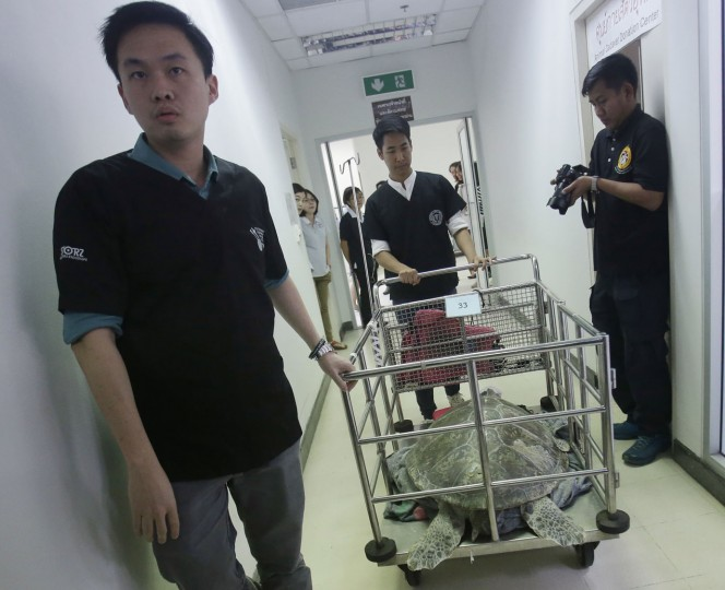 "The female green green turtle nicknamed ""Bank"" is carried in a cart after her surgery at Chulalongkorn University's veterinary faculty in Bangkok, Thailand, Monday, March 6, 2017. Veterinarians operated Monday on ""Bank,"" removing less than 1,000 coins from the endangered animal. Her indigestible diet was a result of many tourists seeking good fortune tossing coins into her pool over many years in the eastern town of Sri Racha. (AP Photo/Sakchai Lalit)"