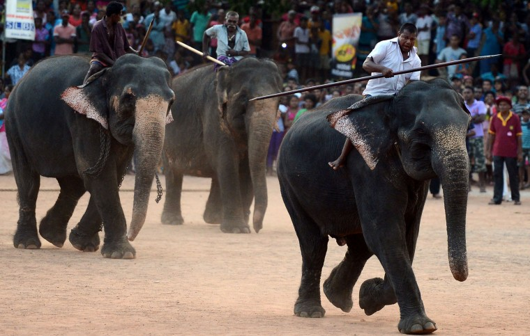 Sri Lankan mahouts ride elephants past spectators during traditional games held to mark the Sinhala and Tamil New Year in Homagama near Colombo on April 23, 2017. The new year marked by both the majority Sinhalese and minority Tamil population fell on April 14. (Lakruwan Wanniarachchi/AFP/Getty Images)