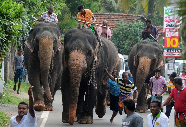 Sri Lankan mahouts ride elephants past spectators in Piliyandala near Colombo on April 14, 2017, as part of traditional festival games held to celebrate to mark the Sinhala and Tamil New Year. The new year which is common to both majority Sinhalese and minority Tamils dawned on April 14, but celebrations can go on for weeks. (Lakruwan Wanniarachchi/AFP/Getty Images)