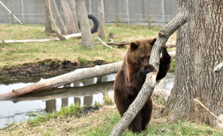 A bear stands in a shelter for bears rescued from circuses and private restaurants of Ukraine, near Zhytomyr, some 150 km west of Kiev, on March 24, 2017. Tortured for years by human hands these mighty animals got a chance to start it all over again in a shelter near the city of Zhytomyr, in the northwest of the country. Opened in 2012 by international animal charity Four Paws, the rescue centre soon became one of the biggest sights of the region. (SERGEI SUPINSKY/AFP/Getty Images)