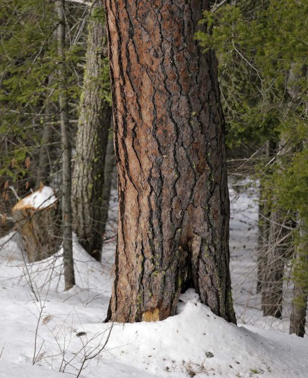 "This Feb. 22, 2017, photo, shows a ""fire scar"" at the base of a ponderosa pine, indicating where previous fire has killed a small section of the living cells right under the bark, where a crew is thinning a 100-acre patch on private land owned by the Nature Conservancy overlooking Cle Elum Lake, in Cle Elum, Wash. As part of a broader plan by the nonprofit environmental group to restore the pine forests of the Central Cascades so they are more resilient to wildfires and climate change, they're cutting down trees to save the forest. (AP Photo/Elaine Thompson)"