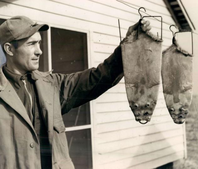January 4, 1936 - Muskrat pelts. Photo by Baltimore Sun Staff Photographer.