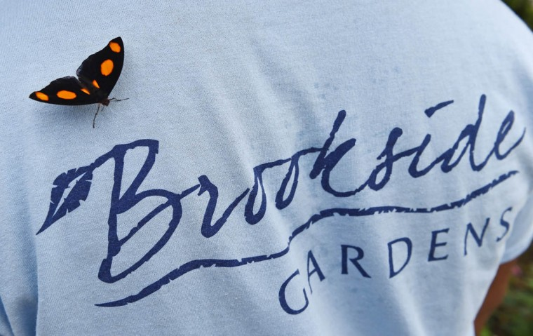 A male Grecian Shoemaker butterfly (Catonephele numilia) lands on a staff member of the Wings of Fancy exhibition at Brookside Gardens South Conservatory. (Kenneth K. Lam/The Baltimore Sun)