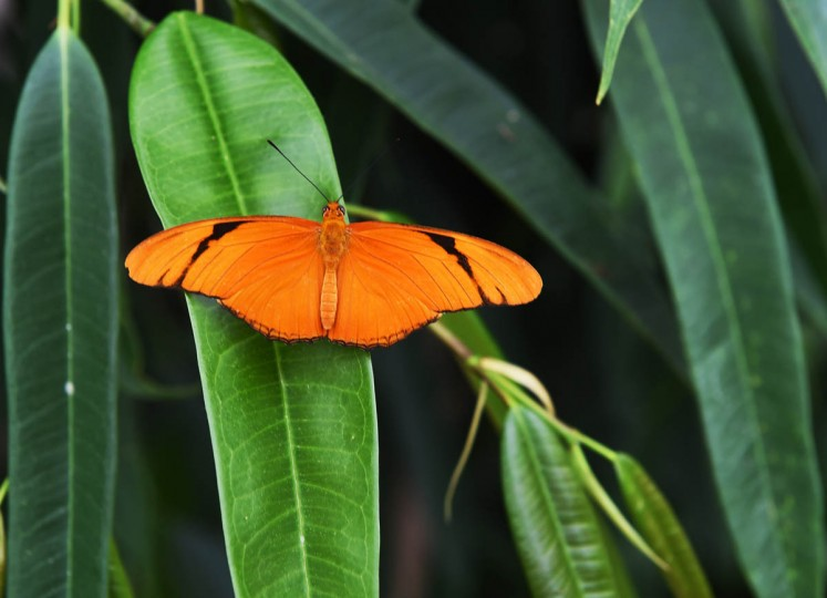 A Julia Longing butterfly (Dryas iulia) in the Wings of Fancy exhibition at Brookside Gardens South Conservatory. (Kenneth K. Lam/The Baltimore Sun)