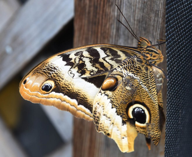 A Magnificent Owl butterfly (Calico atreus) at the Wings of Fancy exhibition at Brookside Gardens South Conservatory. (Kenneth K. Lam/The Baltimore Sun)