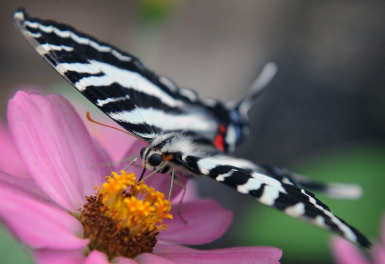 A Zebra Swallowtail butterfly (Eurytides marcellus) feeds on flower nectar in the Wings of Fancy exhibition at Brookside Gardens South Conservatory. The show features over 500 and more than 50 species of live butterflies and moth from North America, Costa Rica, Africa and Asia. The exhibit runs daily from late April to mid September. (Kenneth K. Lam/The Baltimore Sun)