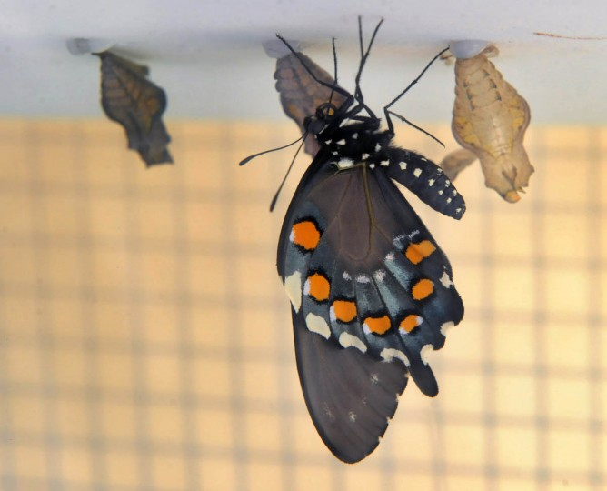 A Pipeline Swallowtail butterfly (Battus philenor) dries it wings after emerging from its chrysalis stage at the Wings of Fancy exhibition at Brookside Gardens South Conservatory. (Kenneth K. Lam/The Baltimore Sun)