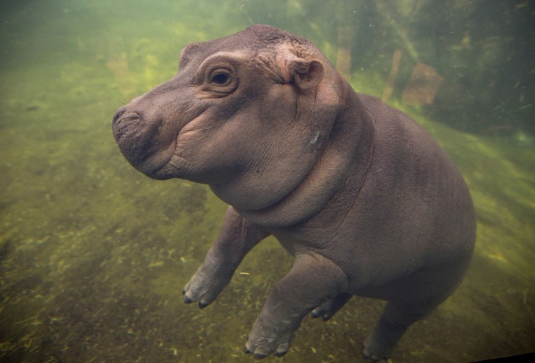 Fiona made her debut to the media in Hippo Cove at the Cincinnati Zoo and Botanical Garden, Wednesday, May 31, 2017, in Cincinnati. The zoo emphasizes she isn't ready for public display but the media-only event was a step toward that. Fiona was born Jan. 24, weighing 29 pounds (13 kilograms). (Liz Dufour/The Cincinnati Enquirer via AP)