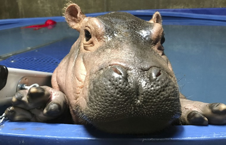 FILE- In this April 12, 2017, file photo provided by the Cincinnati Zoo & Botanical Gardens, Fiona a prematurely born hippopotamus, swims in her quarantine enclosure at the Cincinnati Zoo & Botanical Gardens in Cincinnati. The Cincinnati Zoo recently sent the onesies featuring Fiona's image to newborns at Cincinnati Children's Hospital Medical Center. Zoo Director Thane Maynard says they were intended as thanks to hospital staff for its help with Fiona and a message of hope to families of premature babies. (Courtesy Cincinnati Zoo & Botanical Gardens via AP)