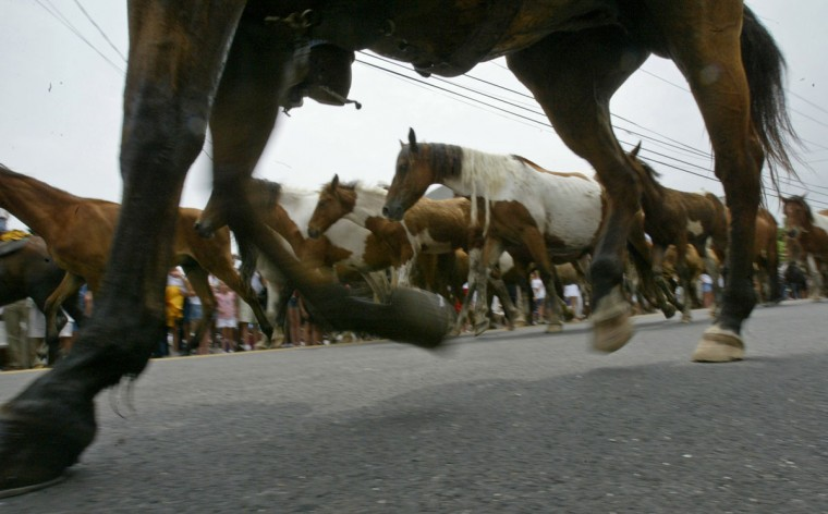 CHINCOTEAGUE, VA--7/28/04 After swimming across the Assateague Channel, the ponies are led through the streets of Chincoteague on their way to the Carnival Grounds, where they will be auctioned off on Thursday. Around 150 horses and ponies participated in the 79th annual Chincoteague Pony Swim Wednesday afternoon. In under ten minutes, they swam from Assateague Island to Chincoteague Island, where they will be auctioned off tomorrow. By CHRIS DETRICK/BALTIMORE SUN STAFF