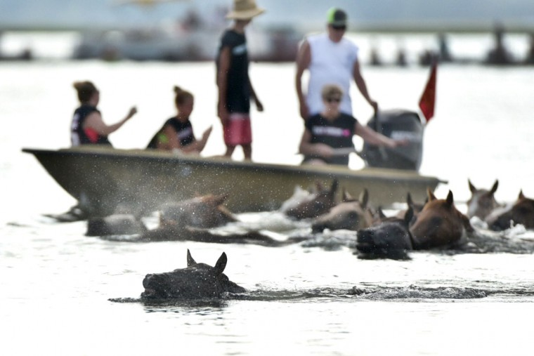 "7/29/15 Chincoteague Island, VA. Saltwater Cowboys swim the ponies from Assateague Island to Chincoteague Island. The swim took place at ""slack tide."" Slack tide is a period of about 30 minutes between tides, when there is no current. Photo by Kim Hairston / Baltimore Sun Staff Photographer"