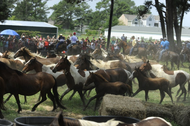 7/27/16 --The wild ponies arrive at the Fairgrounds on Chincoteague Island Wednesday, July 27, 2016. Caitlin Faw/Baltimore Sun staff