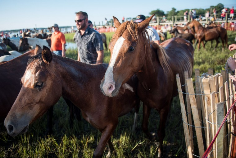 "Two ponies walk through the herd after swimming from Assateague Island to Chincoteague Island, Va., during ""slack tide"" at the 92nd Annual Chincoteague Pony Swim on Wednesday, July 26, 2017. (Michael Ares / The Baltimore Sun)"