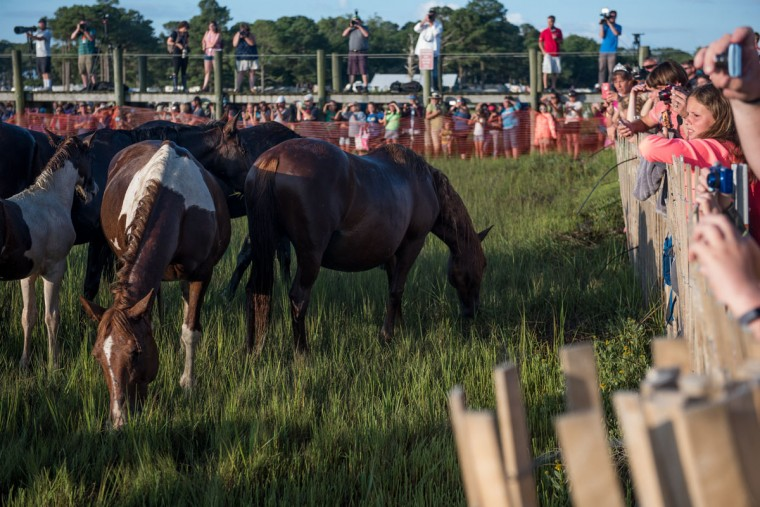 "Attendees watch ponies and horses grazing on the field after swimming from Assateague Island to Chincoteague Island, Va., during ""slack tide"" at the 92nd Annual Chincoteague Pony Swim on Wednesday, July 26, 2017. (Michael Ares / The Baltimore Sun)"