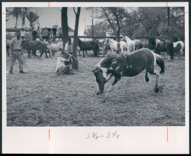 Chincoteague Island Pony Roundup, photo dated July 21, 1963. (Baltimore Sun archives)