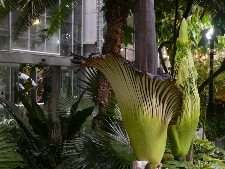The U.S. Botanic Garden has about 13 corpse plants, and it's extremely rare for three to bloom at once – they only bloom every five to twelve years. (Photo courtesy of USBG)