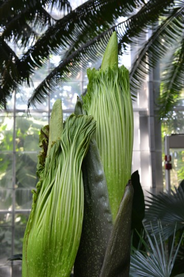 The corpse flower aroma is a cross between sweaty gym clothes, natural gas, rancid cheese, mothballs and rotting flesh, said USBG spokesman Ray Mims. (Photo courtesy of USBG)