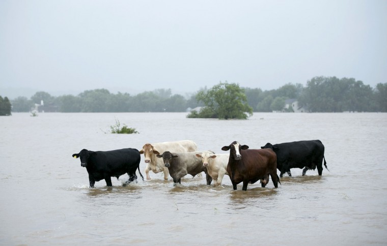 Cattle are stranded in a flooded pasture on Highway 71 in La Grange, Texas, after Hurricane Harvey on Monday, Aug. 28, 2017. (Jay Janner/Austin American-Statesman via AP)