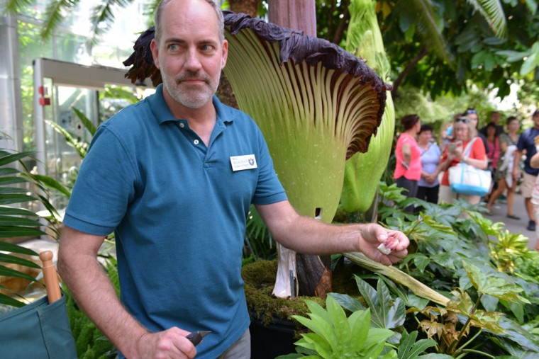 Curator Bill McLaughlin examines a blossoming corpse flower at the U.S. Botanic Garden in Washington, D.C. According to the Garden, it's the first time that a North American institution has had three corpse flower plants blooming at the same time. (Photo courtesy of USBG)