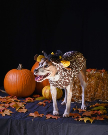 Winston, an 8-year-old Beagle, poses in a giraffe costume. (Karl Merton Ferron/Baltimore Sun)