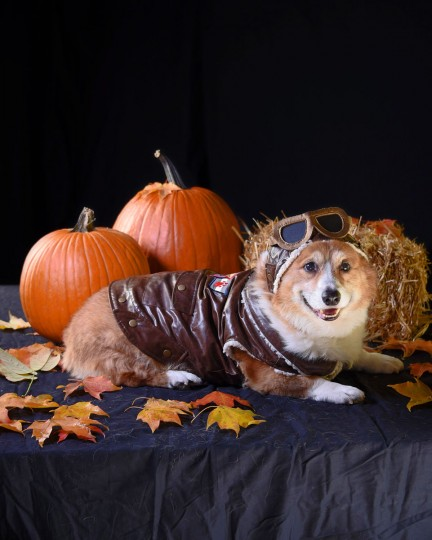 Flash, a 12-year-old Welsh Pembroke Corgi, poses in a vintage pilot costume. (Karl Merton Ferron/Baltimore Sun)