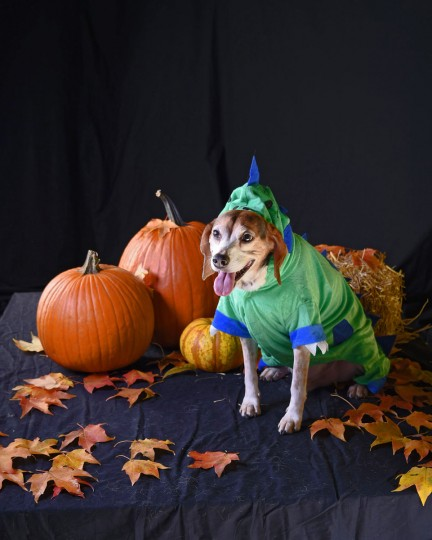 Winston, an 8-year-old Beagle, poses in a dinosaur costume. (Karl Merton Ferron/Baltimore Sun)